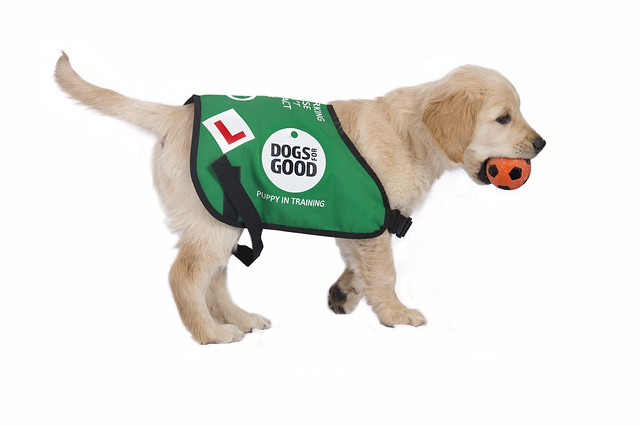 One of the Dogs for Good puppies in training!